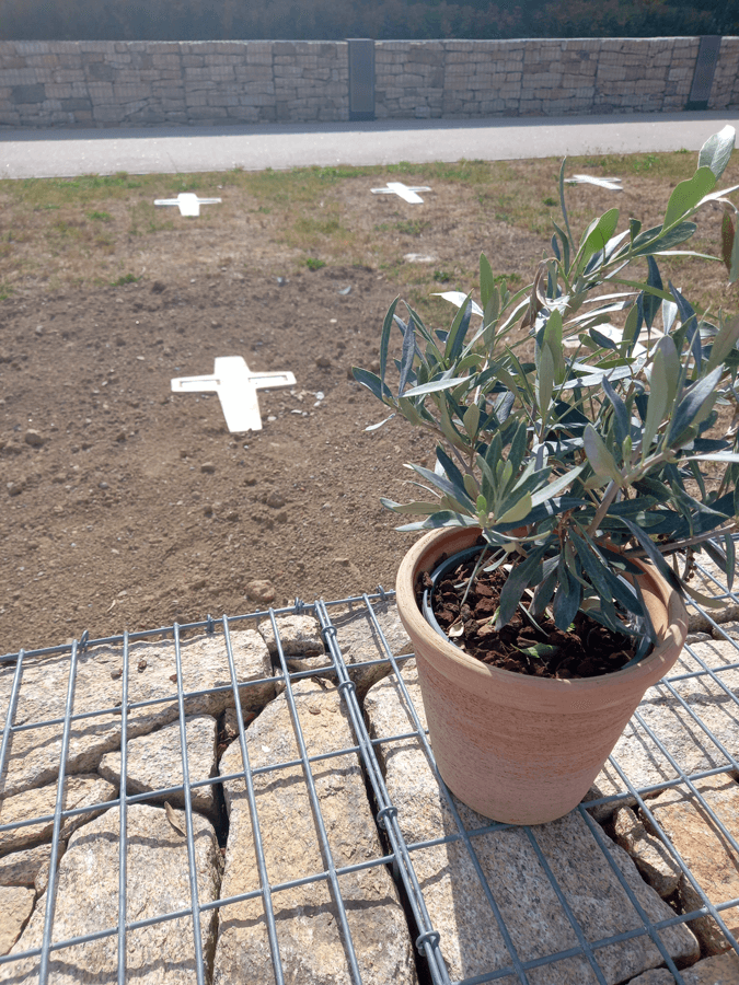 Sur la tombe, un olivier, symbole de paix
